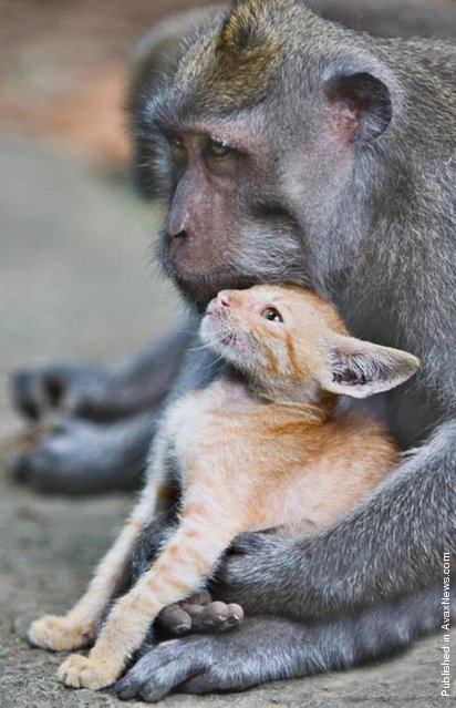 Many male animals have strong parental impulses, too. Take, for instance, this wild long-tailed macaque monkey in Bali, Indonesia. He stunned animal lovers around the world when he adopted an abandoned kitten and cared for it as his own. The monkey was spotted in a forest protectively nuzzling and grooming the ginger kitten, making sure no harm came to it. The extraordinary sight was captured by amateur photographer Anne Young while on a holiday to the Monkey Forest Park in Bali's Ubud region