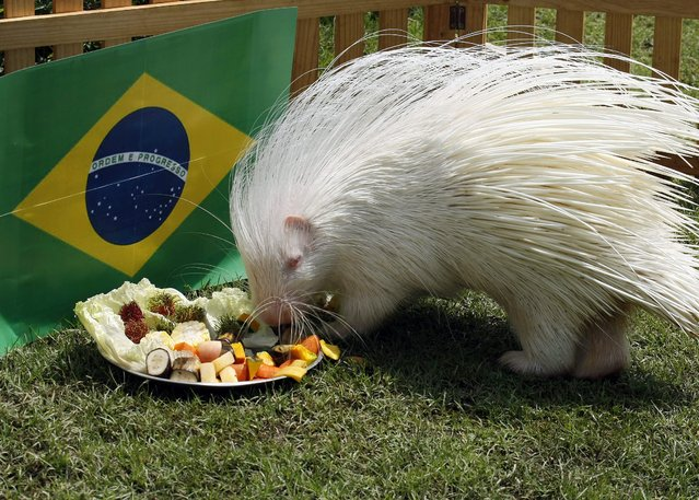 """Thai hedgehog """"Little"""" eat fruits and vegetables in front of Brazil after a choice between two bowls of goodies, each representing one of Brazil and Chile nations, during predicting World Cup results at the zoo in Chiang Mai, northern Thailand, 26 June 2014. The organizers of a zoo in Thailand are using hedgehogs to predict World Cup results between Brazil and Chile ahead of their  match on 28 June. (Photo by Pongmanat Tasiri/EPA)"""
