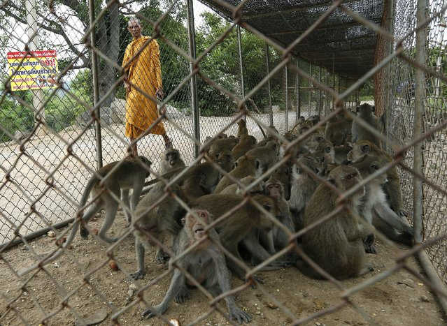 A Thai Buddhist monk walks past a cage filled with monkeys which are being moved for sterilization in order to control the birth rate of the monkey population at Wat Khao Takiab temple in Hua Hin city, Prachuap Khiri Khan Province, Thailand, 15 July 2017. (Photo by Narong Sangnak/EPA/EFE)