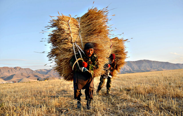 In this photograph taken on  August 3, 2015 Afghan farmers carry bundles of wheat during harvest, on the outskirts of Mazar-i-Sharif. (Photo by Farshad Usyan/AFP Photo)