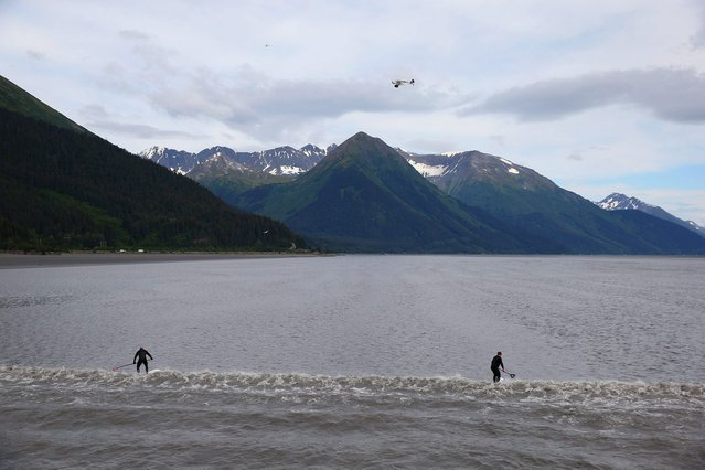 A group of surfers ride the Bore Tide at Turnagain Arm on July 12, 2014 in Anchorage, Alaska. Alaskas most famous Bore Tide, occurs in a spot on the outside of Anchorage in the lower arm of the Cook Inlet, Turnagain Arm, where wave heights can reach 6-10 feet tall, move at 10-15 mph and the water temperature stays around 40 degrees farenheit. This years Supermoon substantially increased the size of the normal wave and made it a destination for surfers. (Photo by Streeter Lecka/Getty Images)