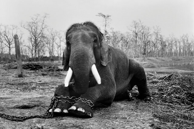 This bull elephant will end his life in chains in Nepal's Chitwan national park, a consequence of having killed five mahouts during his lifetime. (Photo by Patrick Brown/Photographers Against Wildlife Crime/Wildscreen/The Guardian)