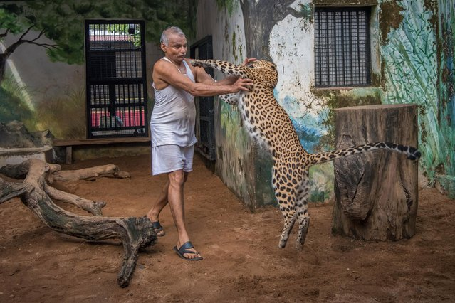 """A couple have taken their love of animals to the extreme – by opening up their home to over 100 rescued animals. Dr Prakash Amte and his wife, Dr. Mandakini Amte have dedicated their lives to helping both the animals – and people – of Hemalkasa, Maharashtra in India. The couple started the sanctuary – called Amte's Animal Ark – in the early seventies after a chance encounter with an orphaned monkey. Amte's Animal Ark is a wildlife orphanage and sanctuary. """"The Ark"""" is an orphanage for young wild animals, whose parents have been killed by the tribal people only for food and not for fun or entertainment. Amte was successful to get these animals in exchange of food grains and clothes. However, it was not easy to do this. The Animal Ark today has a wide variety of animals (over 100) like leopards, sloth bears, snakes, birds, deer, owls, crocodiles, hyenas and monkeys. Here: Prakash Amte is seen playing with a Leopard from his orphanage on September 19, 2017 in Maharashtra, India. (Photo by Haziq Qadri/Barcroft Media)"""