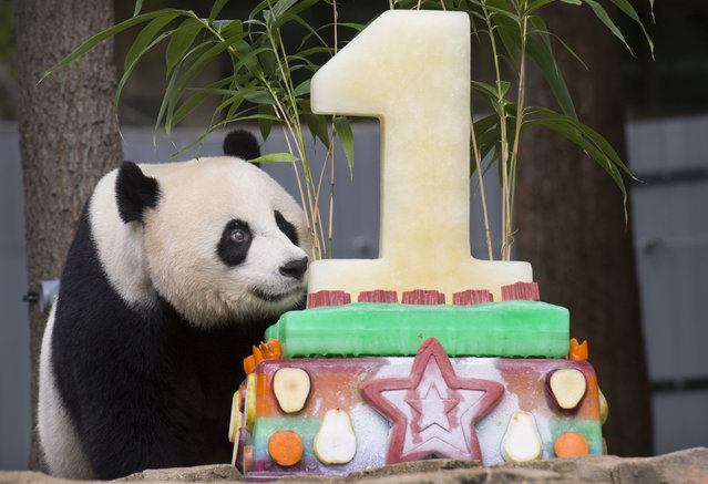Giant panda Mei Xiang discovers a birthday cake meant for her cub Bei Bei (NP) who turns one at the Smithsonian National Zoo in Washington, DC on August 20, 2016. (Photo by Linda Davidson/The Washington Post)