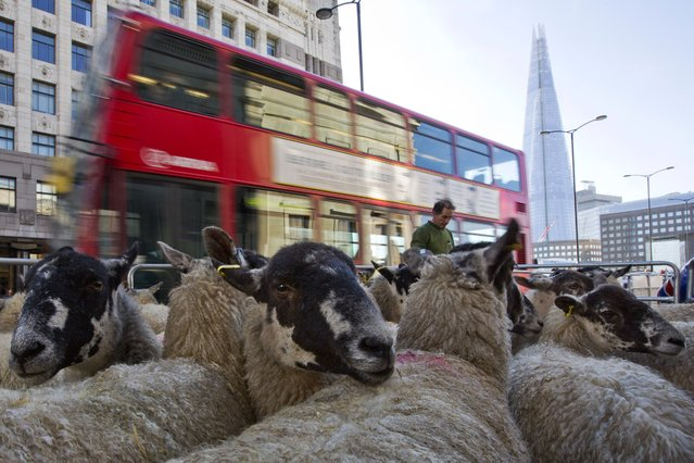 Sheep are pictured in their pen before Freemen of the City of London re-enact their right to drive sheep across London Bridge in London, on October 5, 2014. The tradition dates back to the 11th century and saved farmers from paying a bridge crossing tax. (Photo by Justin Tallis/AFP Photo)