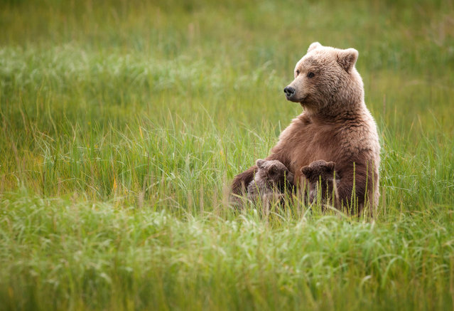 """Nursing Mama: This female brown bear came into the Lake Clark National Park area in late July with her triplet Spring cubs and seemed quite relaxed as she sat nursing two of her cubs"". (Photo and comment by Ruth Steck/National Geographic Photo Contest via The Atlantic)"
