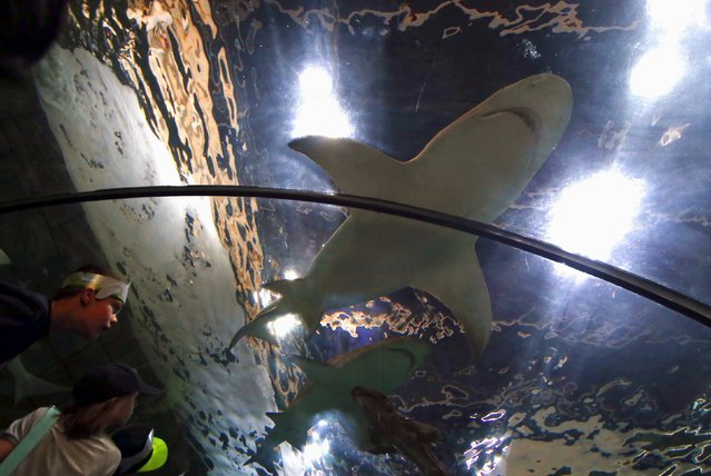 Children watch sharks swim above them in a glass tunnel at the Sydney Aquarium, Australia, September 29, 2015. (Photo by David Gray/Reuters)
