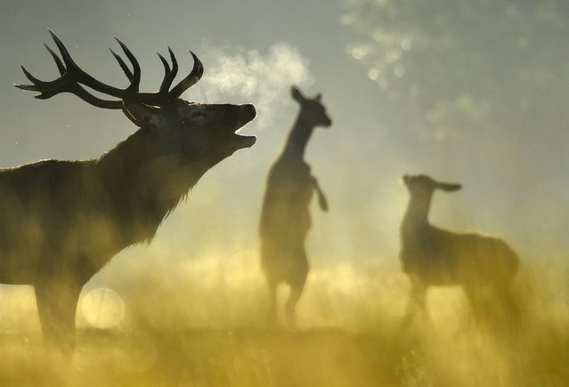 A Red deer stag barks, with females seen behind, in the morning sun in Richmond Park in west London, Britain, October 2, 2015. The Royal Park has had Red and Fallow deer present since 1529, and early autumn sees the rutting or breeding season begin amongst the herd of over six hundred animals. (Photo by Toby Melville/Reuters)