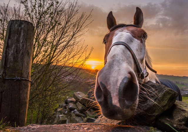 Mike the horse captured on an autumn morning in Yorkshire, England on October 2, 2015 by a local amateur photographer. (Photo by David Zdanowicz/REX Shutterstock)
