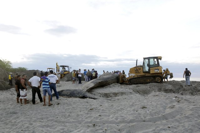 People watch as the body of a beached blue whale is buried at Popoyo beach, at the Nicaraguan pacific coast, November 15, 2014. The blue whale, which beached on Friday in the department of Rivas, has been buried by the authorities after a 12-hour attempt by the army, the police and the Ministry of Environment and Natural Resources (Marena) to return it to sea, according to local media. (Photo by Reuters/Stringer)