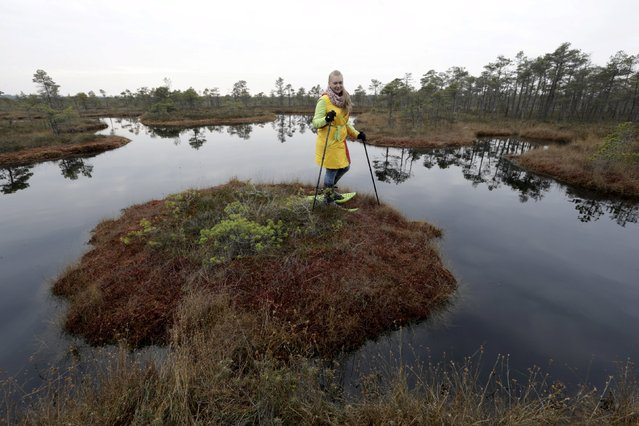 A woman stands on an island in a lake during a tour of the Great Kemeri Bog, Latvia, October 17, 2015. (Photo by Ints Kalnins/Reuters)