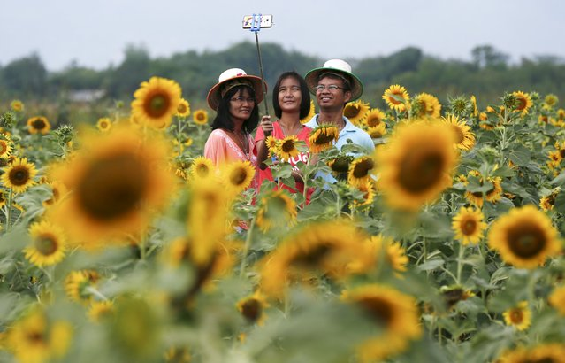 "A family takes a ""selfie"" at a sunflower field in Lopburi province, north of Bangkok November 14, 2015. (Photo by Chaiwat Subprasom/Reuters)"