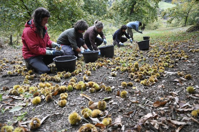 Workers harvest chesnuts on October 19, 2016, in Lamastre, southeastern France. The season of chesnuts has started in the north of the French Ardeche department. (Photo by Philippe Desmazes/AFP Photo)