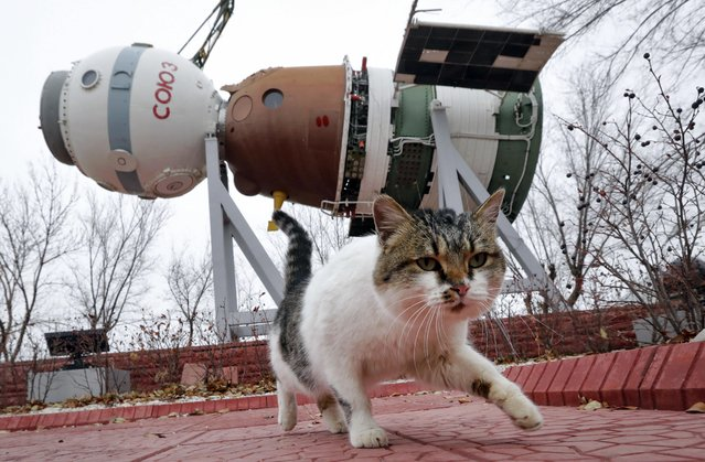 A cat walks past a Soyuz space ship installed at a museum, at the Russian leased Baikonur cosmodrome, Kazakhstan, Tuesday, November 15, 2016. The start of the new Soyuz mission to the International Space Station (ISS) is scheduled on early Friday, Nov. 18 local time. The Russian rocket will carry French astronaut Thomas Pesquet, Russian cosmonaut Oleg Novitsky and U.S. astronaut Peggy Annette Whitson. (Photo by Dmitri Lovetsky/AP Photo)