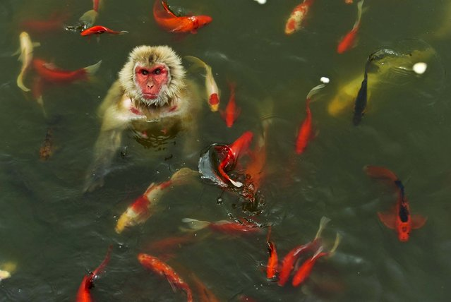 A monkey plays in a pond surrounded by Koi at a wildlife park in Hefei, China, on July 16, 2013. (Photo by Reuters)