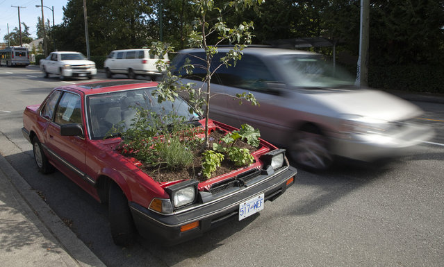 A car sits on the street with a garden growing where the engine should be in Vancouver, British Columbia August 30, 2010. The car is part of a program called The Stick Shift Project which is part of a collaborative urban transformation in which four cars have had their engines removed and a small garden planted. The cars have been parked in several locations around Vancouver. (Photo by Andy Clark/Reuters)