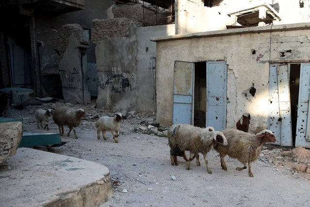A herd of sheep pass by damaged buildings in Jobar, a suburb of Damascus, Syria January 23, 2016. (Photo by Bassam Khabieh/Reuters)