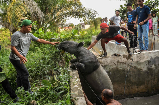 Wildlife agency rangers rescue a Malayan tapir, an endangered species on the International Union for Conservation of Nature (IUCN) Red List, after it fell into a villager's fish pond in Pekanbaru, Riau on April 20, 2021. (Photo by Wahyudi/AFP Photo)