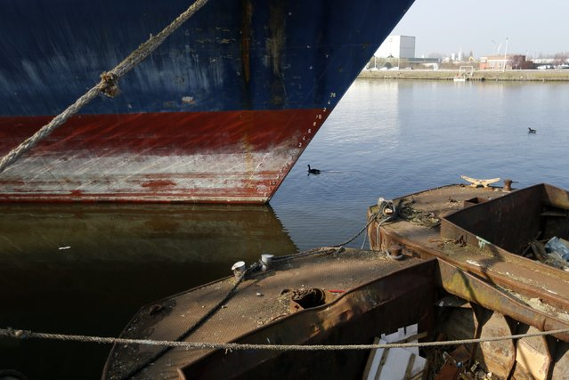 A goose swims past boats which are soon to be dismantled at the Galloo ship recycling plant in Ghent March 23, 2015. (Photo by Francois Lenoir/Reuters)