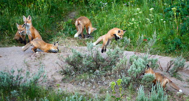 """""""Morning Frolics!"""" This Fox family had their den just down the way a bit from my cabin. On this particular day, everyone was out enjoying an early morning romp. There is action everywhere here!! One kit leaps an another is busy sneaking up on him. There were so many things happening, it was hard to keep up with it all. And, two of the kits didn't even get in this image! Photo location: Henry's Lake, Idaho. (Photo and caption by Jon Jacobs/National Geographic Photo Contest)"""