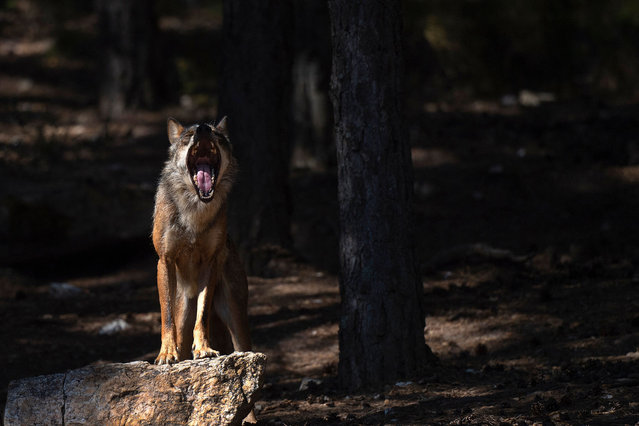A wolf yawns at the Iberian Wolf Centre in the Sierra de la Culebra near the village of Puebla de Sanabria on July 28, 2021. Hunting wolves is due to be banned nationwide in Spain by the end of September, much to the delight of conservationists and the dismay of ranchers who worry the change will mean more attacks on their livestock. (Photo by Pierre-Philippe Marcou/AFP Photo)