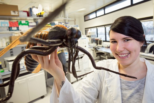 """PhD student Jessica Boerstler holds up the model of a mosquito (Culicidae) is pictured in a laboratory of the Bernhard Nocht Institute for Tropical Medicine in Hamburg, Germany, 22 February 2016. Due to the spread of Zika, Dengue and West Nile viruses, Germany is stepping up its research on mosquitos by funding the project """"CuliFo"""" (Culicidae-Forschung, lit. Culicidae research) at the Bernhard Nocht Institute with 2.2 million euros. (Photo by Christian Charisius/EPA)"""
