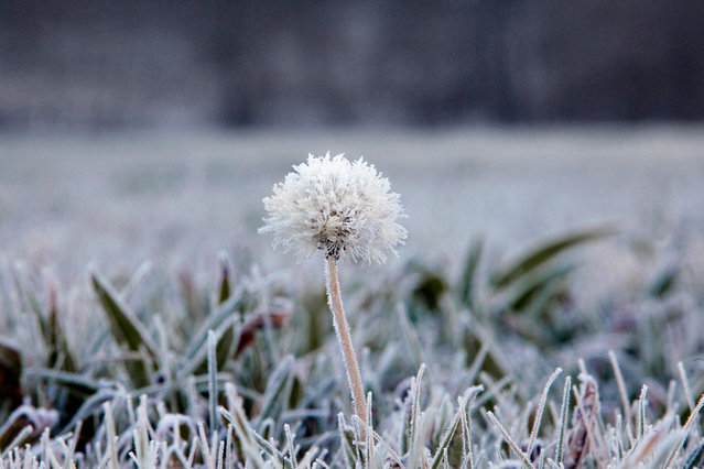 A hoar frost crusted dandelion stands in the middle of a frozen meadow in A Coruna, province of Galicia, northwestern Spain, 09 January 2017 morning. Up to 12 provinces in Spain are under a yellow-level weather alert due to freezing temperatures. (Photo by EPA/Cabalar)