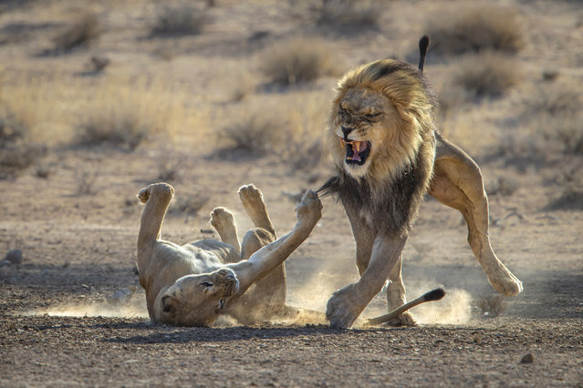 A lioness takes a swipe at a male in the Kgalagadi Transfrontier wildlife preserve in South Africa in May 2021. (Photo by Gonnie Myburgh/Cover-Images.com)