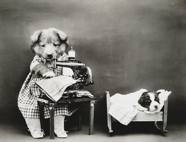 Photograph shows a puppy wearing a dress and placed at a toy sewing machine with a tiny puppy sleeping in a cradle, 1914. (Photo by Harry Whittier Frees/Library of Congress)