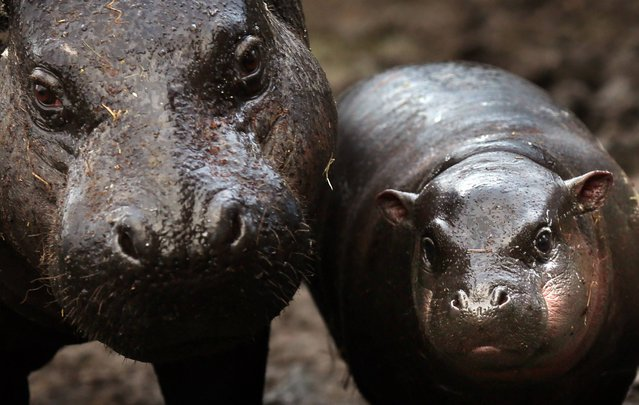 Ellen a pygmy hippo with her three-month-old daughter Adana, as she  celebrates her ninth birthday at Edinburgh Zoo, on January 22, 2014. (Photo by David Cheskin/PA Wire)