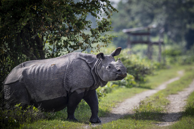 A one-horned rhinoceros crosses a road inside Kaziranga national park on the eve of the World Rhino Day in Gauhati, India, Tuesday, September 21, 2021. Kaziranga is home to nearly 2,500 one-horned rhinos and is the world's largest habitat for the rare animal. (Photo by Anupam Nath/AP Photo)