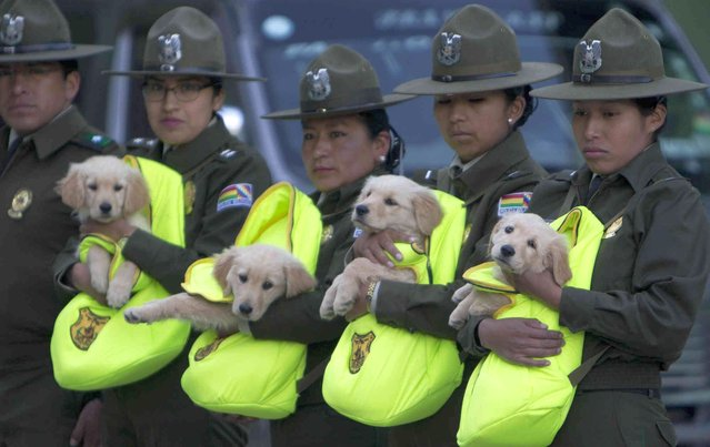 Female officers introduce a litter of Golden Retriever puppies to be trained as police dogs, during a skills presentation of the K-9 unit for the leadership, in La Paz, Bolivia, Friday, April 5, 2019. (Photo by Juan Karita/AP Photo)