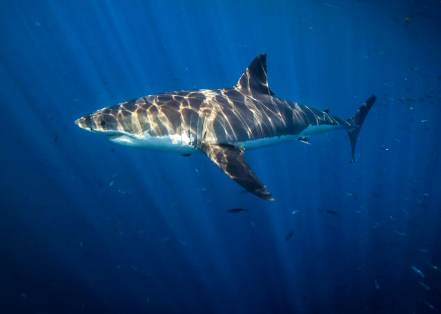 A shark up close. (Photo by Juan Oliphant/Caters News)