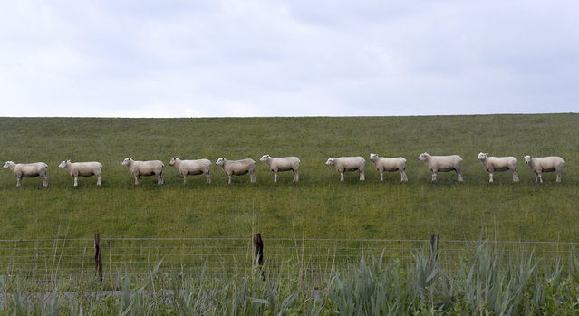 Sheep are lined up on a dike near Buesum, northern Germany, Wednesday, June 19, 2019. (Photo by Carsten Rehder/dpa via AP Photo)