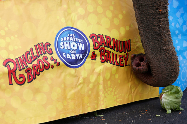 """An elephant attempts to eat a head of lettuce during an elephant brunch session before Ringling Bros and Barnum & Bailey Circus' """"Circus Extreme"""" show at the Mohegan Sun Arena at Casey Plaza in Wilkes-Barre, Pennsylvania, U.S., April 29, 2016. (Photo by Andrew Kelly/Reuters)"""