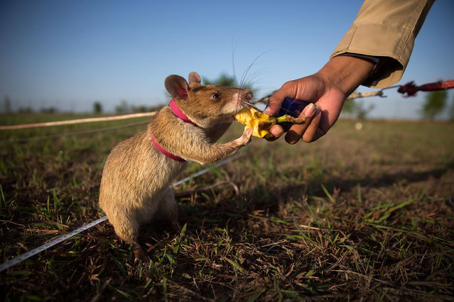 A mine detection rat is given banana as a reward after successfully identifying an inactive mine on July 2, 2015 in Siem Reap, Cambodia. (Photo by Taylor Weidman/Getty Images)