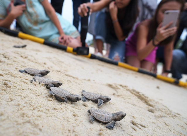 Hawksbill sea turtles hatched less than 10 hours ago make their way to the sea on the beach of Singapore's Sentosa Island on September 4, 2019. Staff of the Sentosa Development Corporation released a total of 100 Hawksbill sea turtle hatchlings back to the sea. (Photo by Then Chih Wey/Xinhua News Agency/Barcroft Media)
