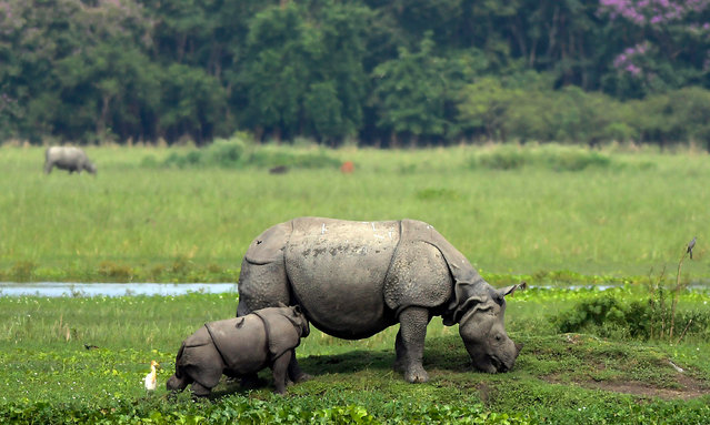 A baby one horned Rhino calf feeds on its mother's milk, inside Pobitora wildlife sanctuary in Morigaon, Assam, India, 27 May 2019. Pobitora has the highest density population of Rhinos in the world, presently numbering about 95 in just 38.8 Sq. km. area. (Photo by EPA/EFE/Stringer)