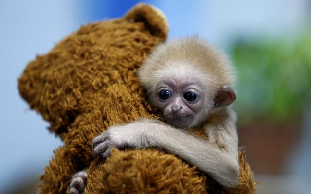 Jim, a two-month-old baby gibbon, embraces a teddy bear in a winter enclosure at a zoo in Almaty, Kazakhstan on October 31, 2019. (Photo by Pavel Mikheyev/Reuters)