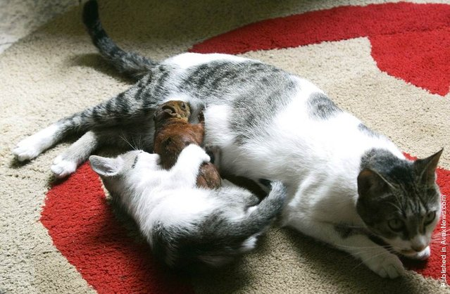 Tita, a cat who belongs to Ruben Gaviria, breastfeeds a squirrel as her kitten plays with it at Gaviria's house near Medellin, Colombia. Gaviria rescued the squirrel after it was found injured in a park in February 2010