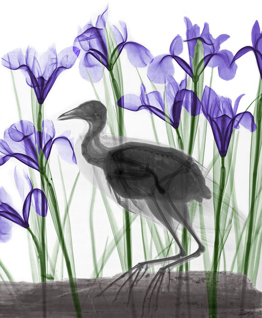 Coloured X-ray of Coot and Iris flowers. A physicist has used X-ray to create an extraordinary collection of artwork. Arie van't Riets pictures reveal birds, fish, monkeys and flowers in an incredible new light. The 66-year-old, from Bathmen in the Netherlands, began X-raying flowers as a means to teach radiographers and physicians how the machine worked. But after adding a bit of colour to the pictures, the retired medical physicist realised the potential for an exciting new collection of art. (Photo by Arie van't Riet/Barcroft Media)