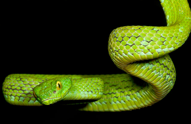 The Mexican palm-pit viper lives in elevated forests – though these habitats are diminishing. (Photo by Danté Fenolio/The Guardian/Johns Hopkins University Press)