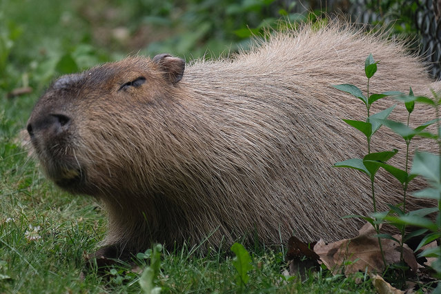 Chewy the capybara enjoys some solitude in his enclosure in the High Park Zoo in Toronto, ON, Canada on June 28, 2016. Chewy is the male rodent which did not escapee last month. Meanwhile, the formerly fugitive capybaras remain out of public view for now. (Photo by Keith Beaty/The Toronto Star via ZUMA Wire)
