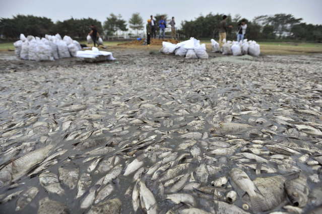 Workers collect dead fish at a park in Shenzhen, Guangdong province, November 5, 2013. More than 10,000 fish were found dead in a smelly lake inside a park, near a drain where sewage flowed into the lake, according to local media. (Photo by Reuters/China Daily)