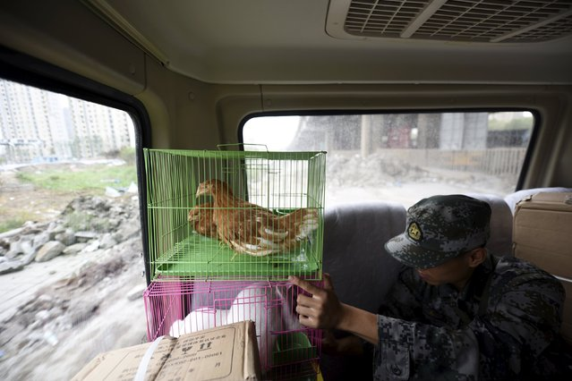 A soldier checks the chickens and rabbits in cages, which are to be placed by authority as a test of the living conditions near the site of last week's blasts at Binhai new district in Tianjin, China, August 19, 2015. According to local media, the animals were alive after being placed near the blasts site for two hours. (Photo by Reuters/Stringer)