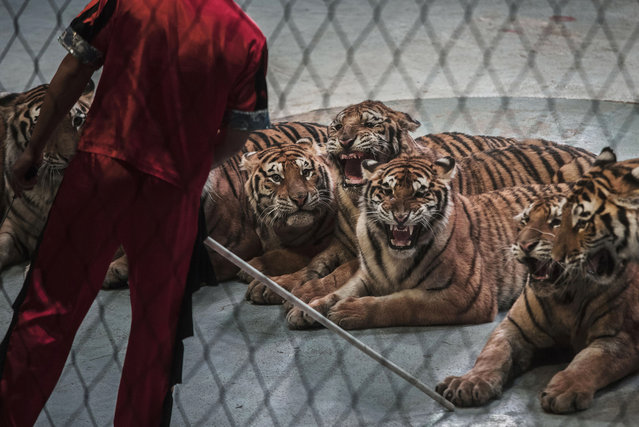 A Chinese trainer holds a stick next to Siberian tigers as they perform at a private circus on rented space at the Heilongjiang Siberian Tiger Park on July 5, 2017 in Harbin, northern China. (Photo by Kevin Frayer/Getty Images)