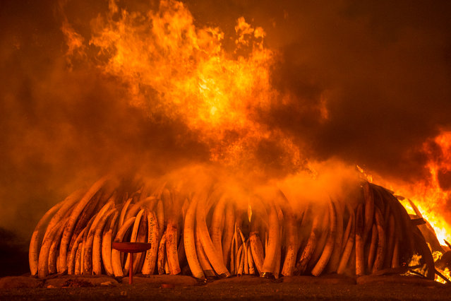 On 30 April 2016, Kenya staged its biggest ever ivory burn – 105 tonnes at Nairobi national park. (Photo by Charlie Hamilton James/National Geographic/Photographers Against Wildlife Crime/Wildscreen/The Guardian)