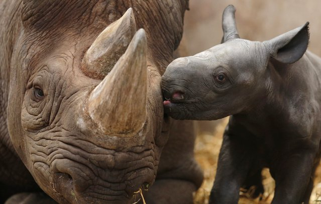 Ema Elsa, a nine-year-old Black Rhino, is nuzzled by her newborn calf in their enclosure at Chester Zoo in Chester, northern England October 5, 2012. The female calf which is less than 48 hours old will join an international breeding programme for the critically endangered species. (Photo by Phil Noble/Reuters)