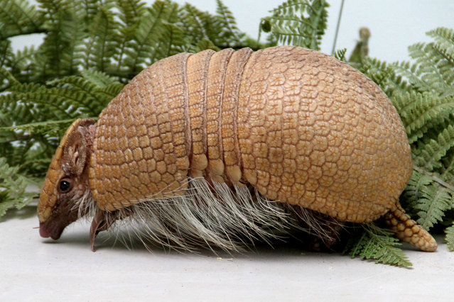 Edinburgh Zoo is proud to introduce this baby three-banded armadillo Rica who was born to mum Rio and dad Rodar in Edinburgh, Scotland, UK on Sunday 24 August 2014. (Photo by SWNS/ABACAPress)