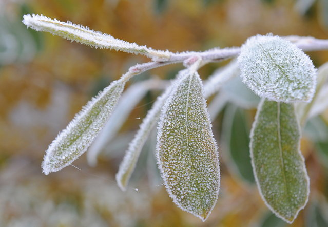 Ice crystals cover the leaves of a tree in Mahlow, eastern Germany, on November 15, 2012. Temperatures below zero caused frost in many parts of Germany (Photo by Bernd Settnik/AFP Photo)
